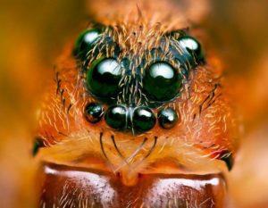 Сколько глаз у тарантула