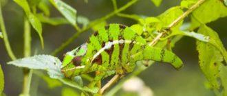 приспособление хамелеона к среде обитания