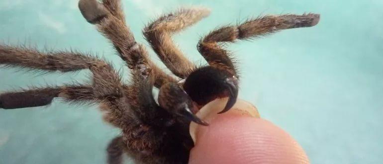 укус тарантула для человека