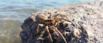 крымский тарантул
