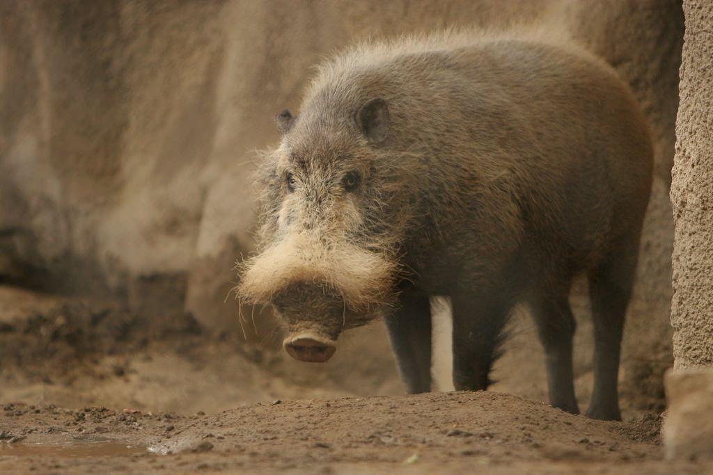Бородатая свинья.