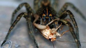 чем можно кормить тарантула дома