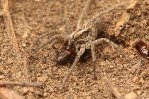 еда тарантула