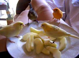 яблоки для канареек