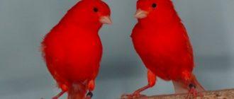 ярко-красная канарейка