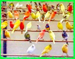 певчие канарейки