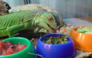 питание игуаны дома
