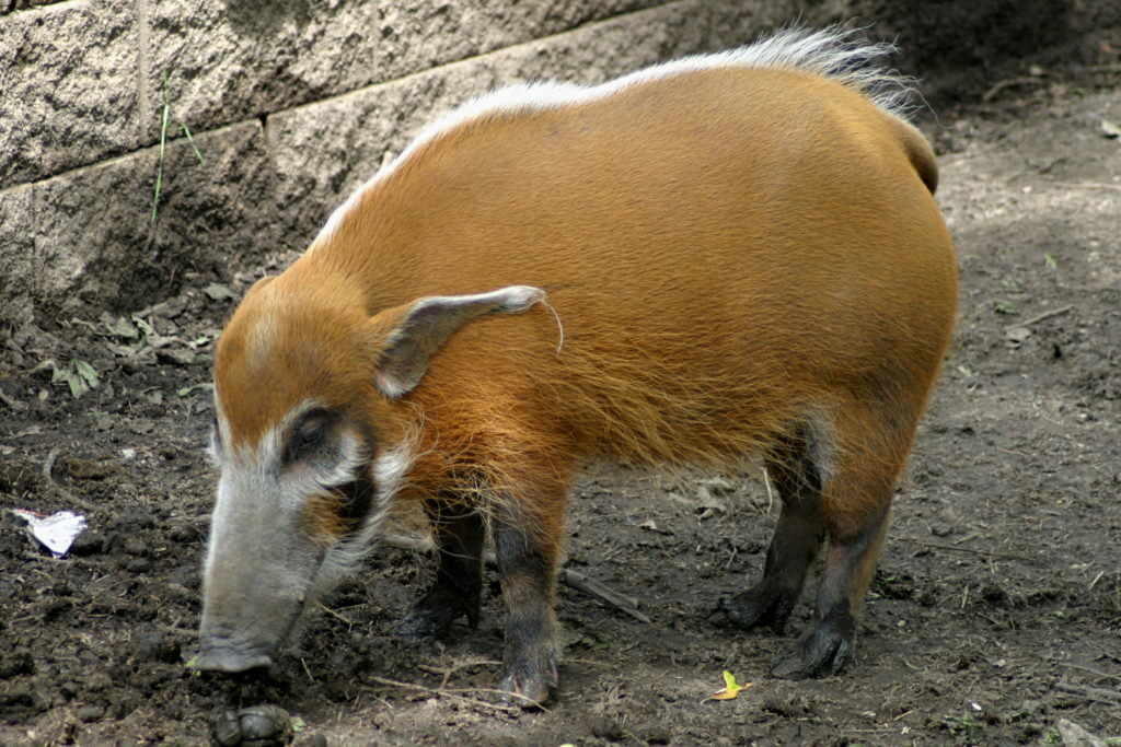 речная свинья