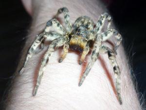 тарантул с самой маленькой продолжительностью жизни