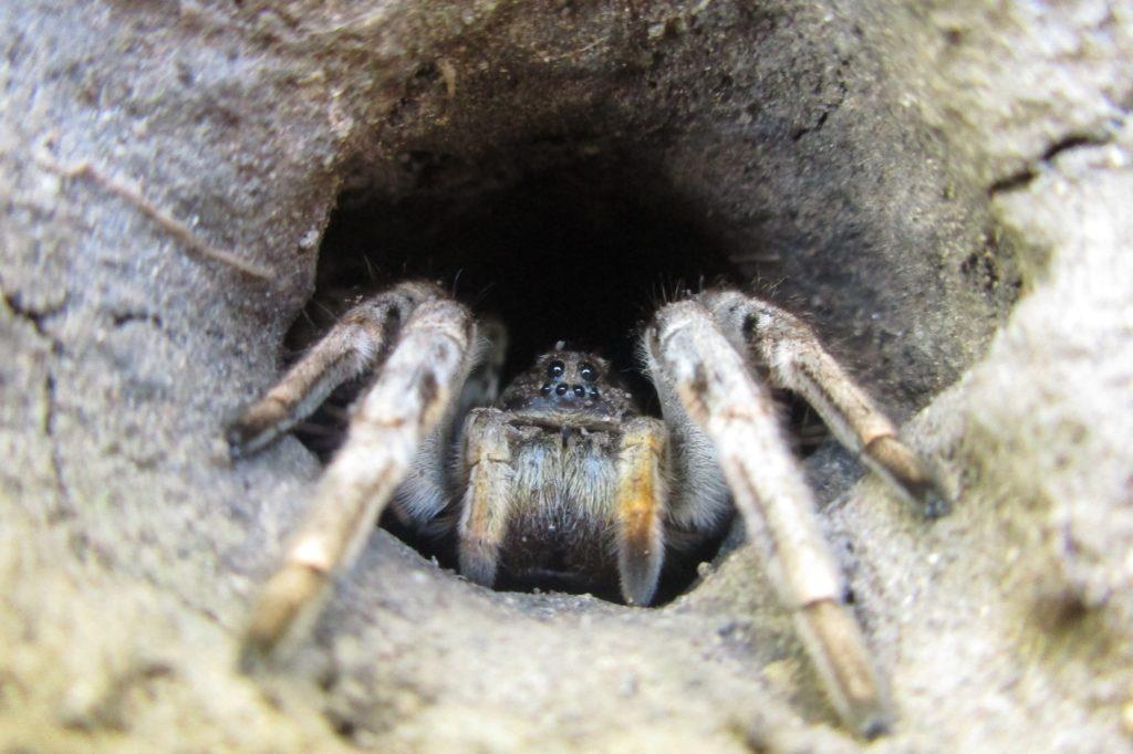 тарантул в естественной среде