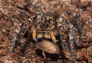 живая жертва для тарантула