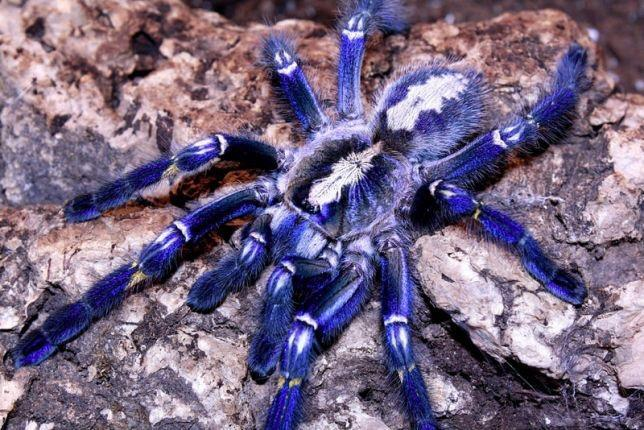 голубой паук птицеед