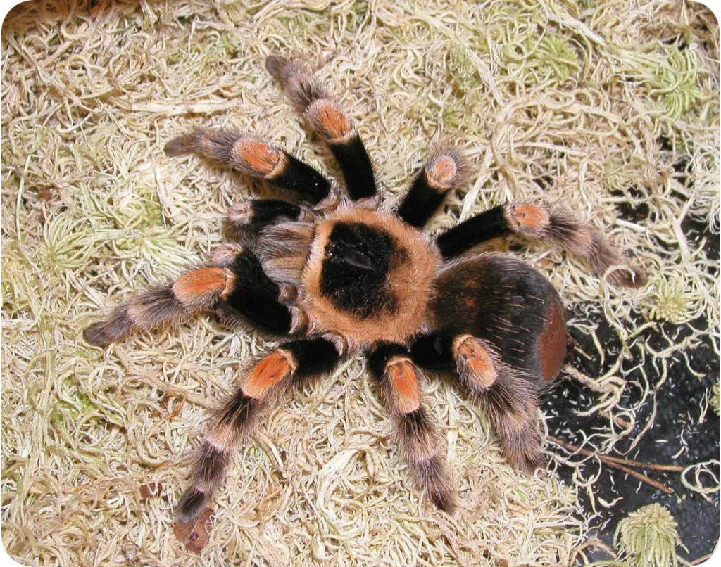 паук птицеед коричневый