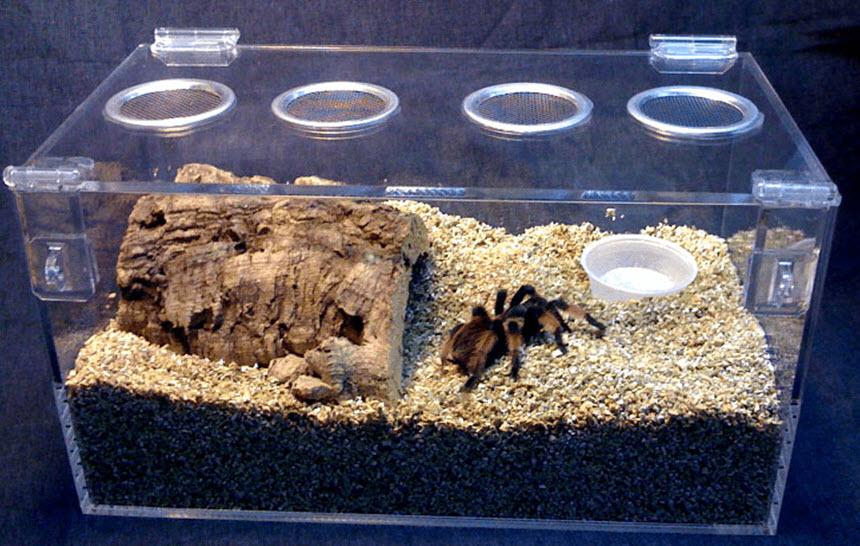 паук птицеед в террариуме