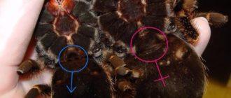 Как определить пол паука птицееда
