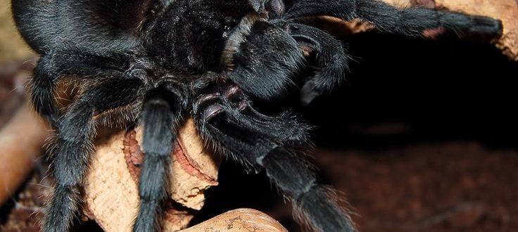 Чёрный тарантул