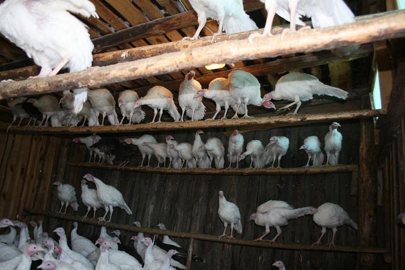 индюки в птичнике сидят на перекладинах