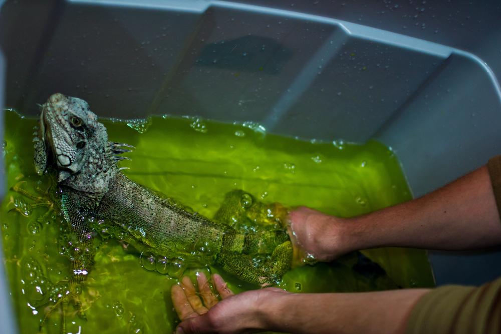 купание игуаны