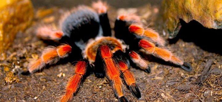Красноколенный паук птицеед