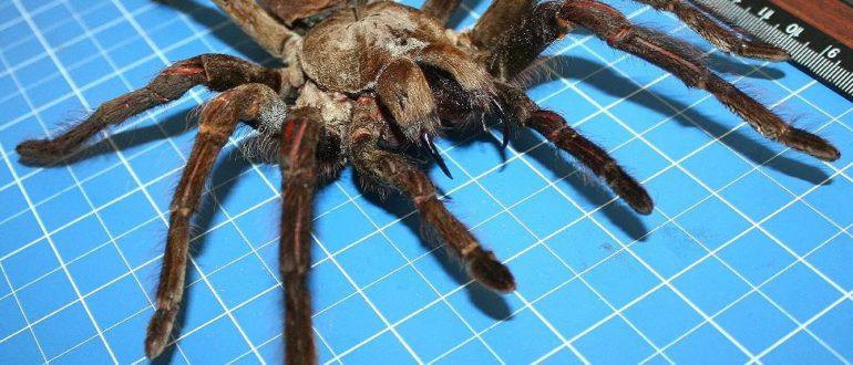 Размеры паука птицееда