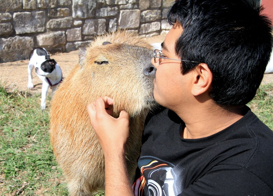 капибара целуется с мужчиной