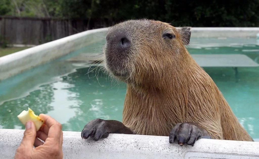 капибара в бассейне